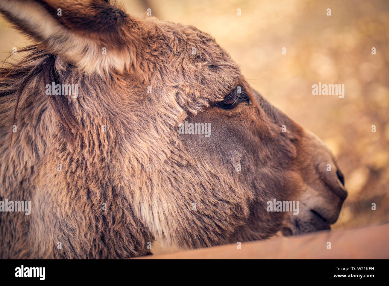 beautiful brown donkey domesticated member of the horse family Stock Photo