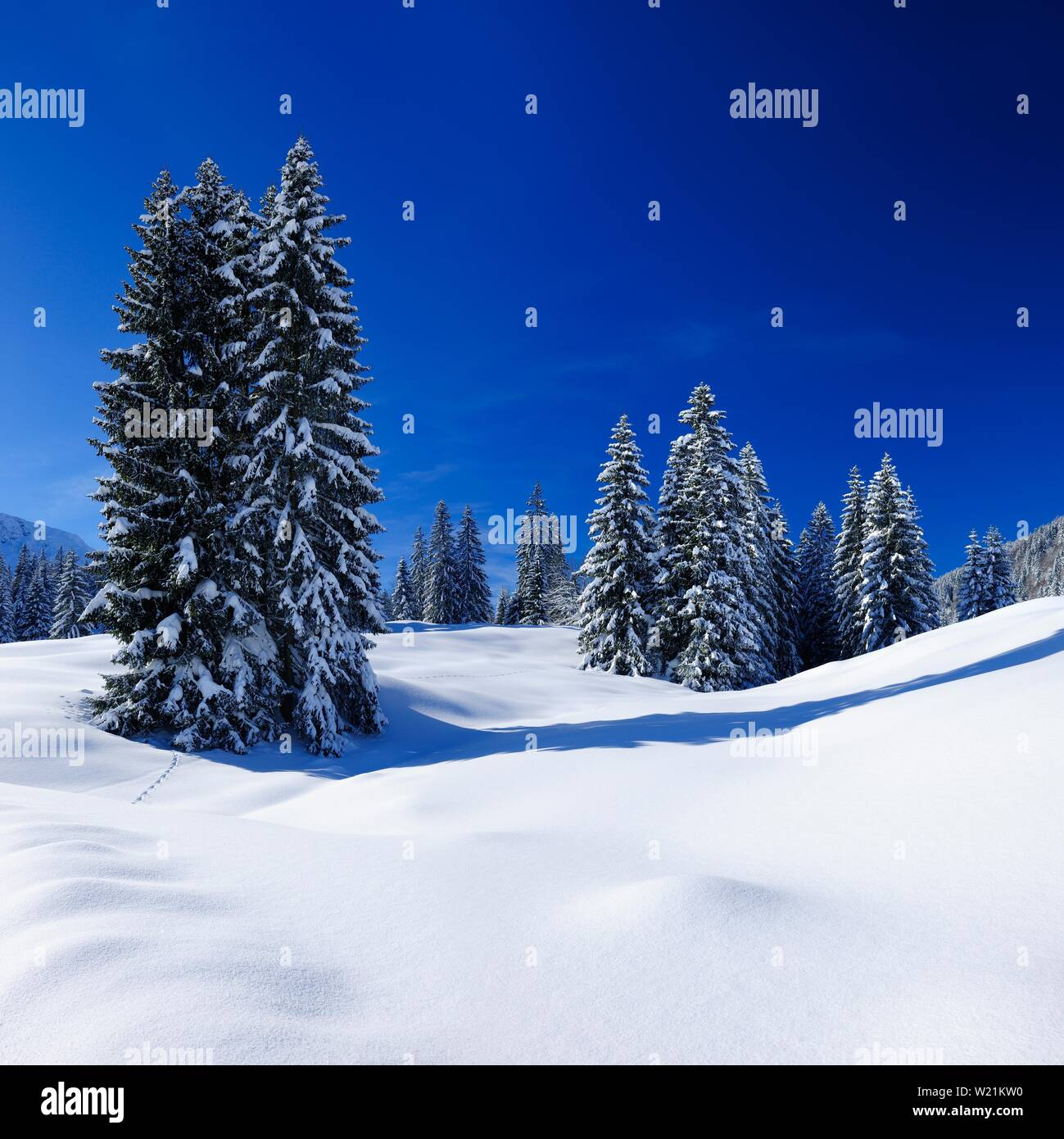 Deep snow-covered untouched winter landscape at the Oberjochpass, fir trees covered with snow, bright sunshine, blue sky, Oberjoch, Allgau, Bavaria - Stock Image