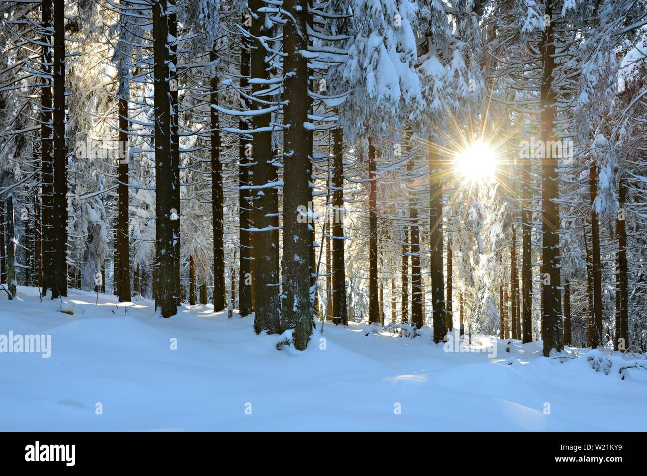 Sun shines through snow-covered spruce forest in winter, Harz National Park, Lower Saxony, Germany - Stock Image