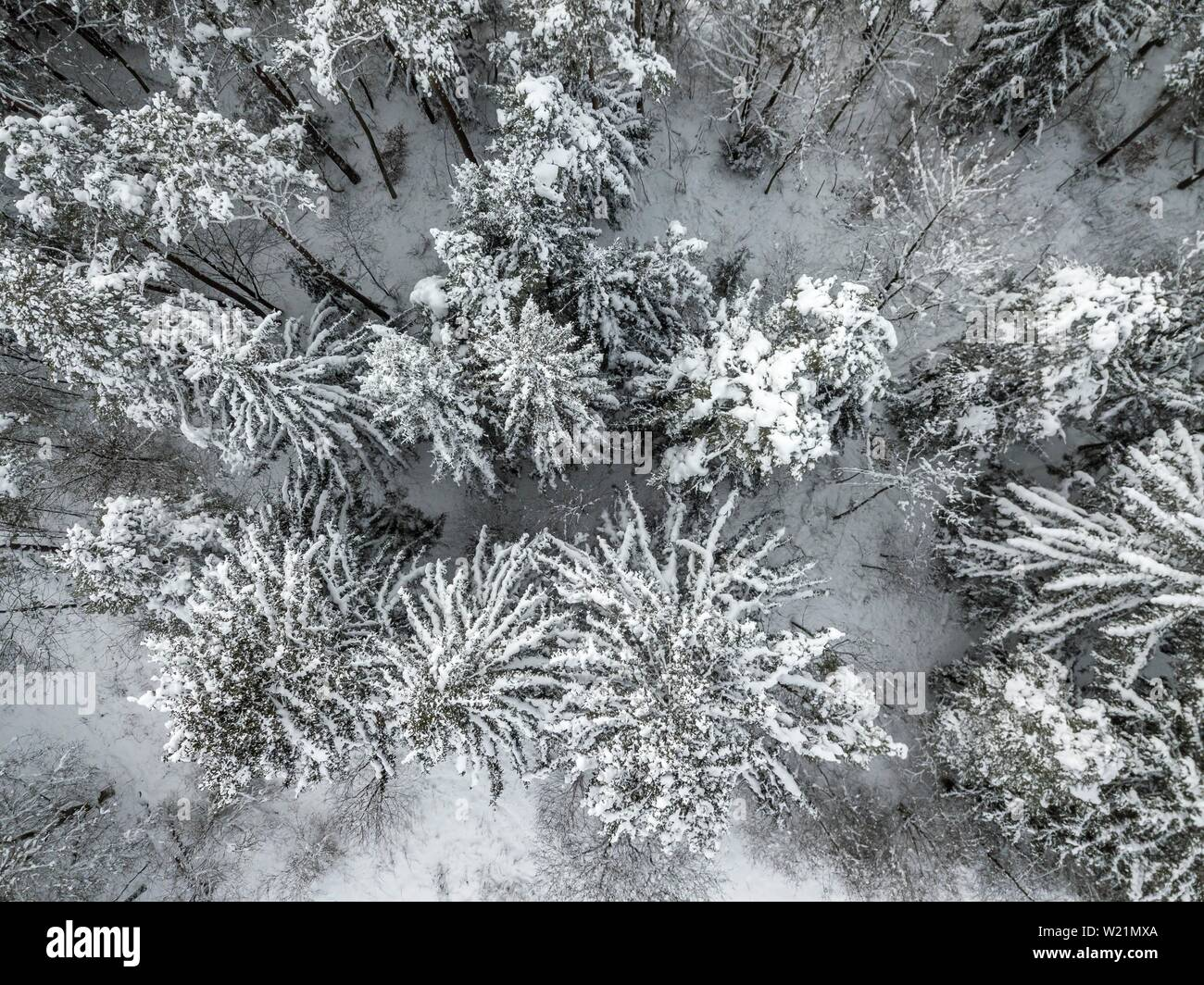Snow-covered spruce forest from above, bird's eye view, Bavaria, Germany Stock Photo