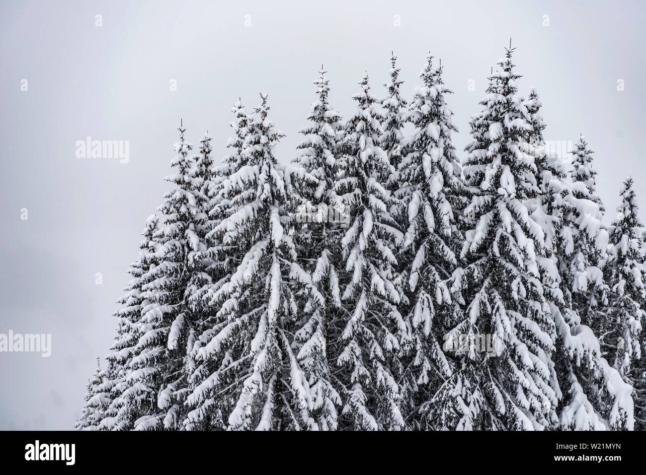 Snow-covered Spruces (Picea) in winter, deep snow in the forest, Brixen im Thale, Tyrol, Austria Stock Photo