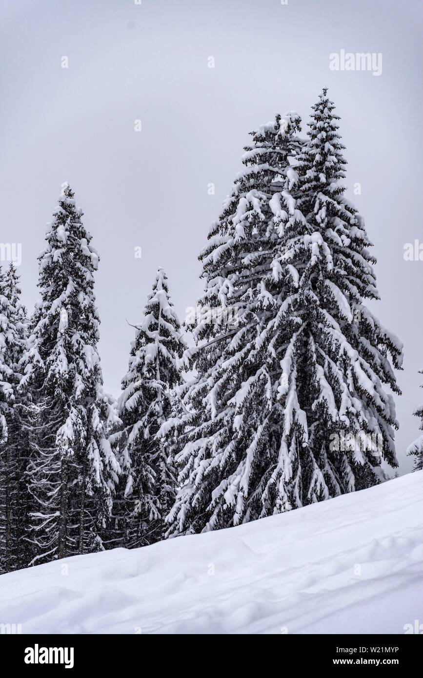 Snow-covered Spruces (Picea) in winter, deep snow in the forest, Brixen im Thale, Tyrol, Austria - Stock Image