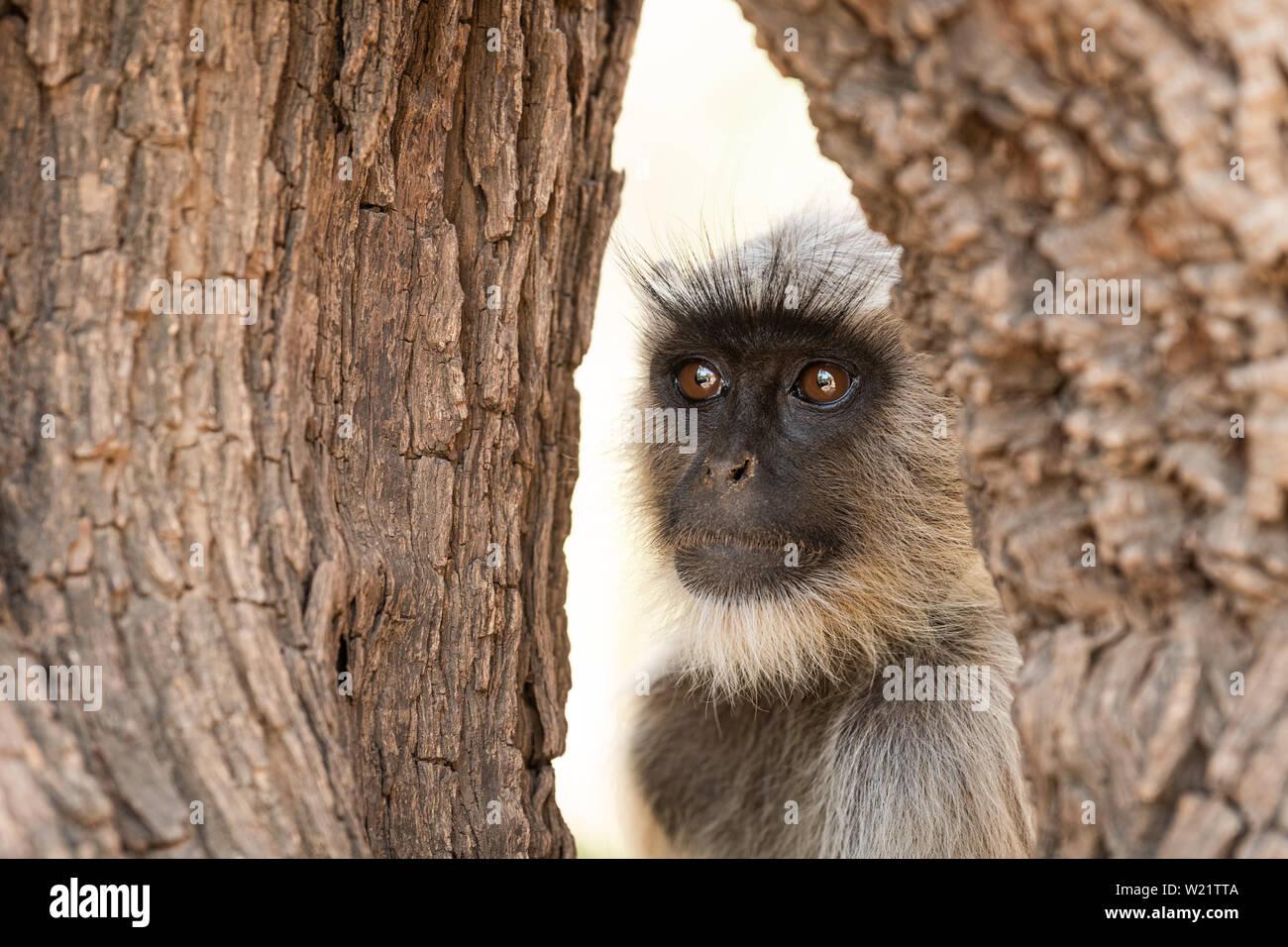 Gray langurs, sacred langurs, Indian langurs or Hanuman langurs, Old World monkeys portrait native to the Indian subcontinent - Stock Image
