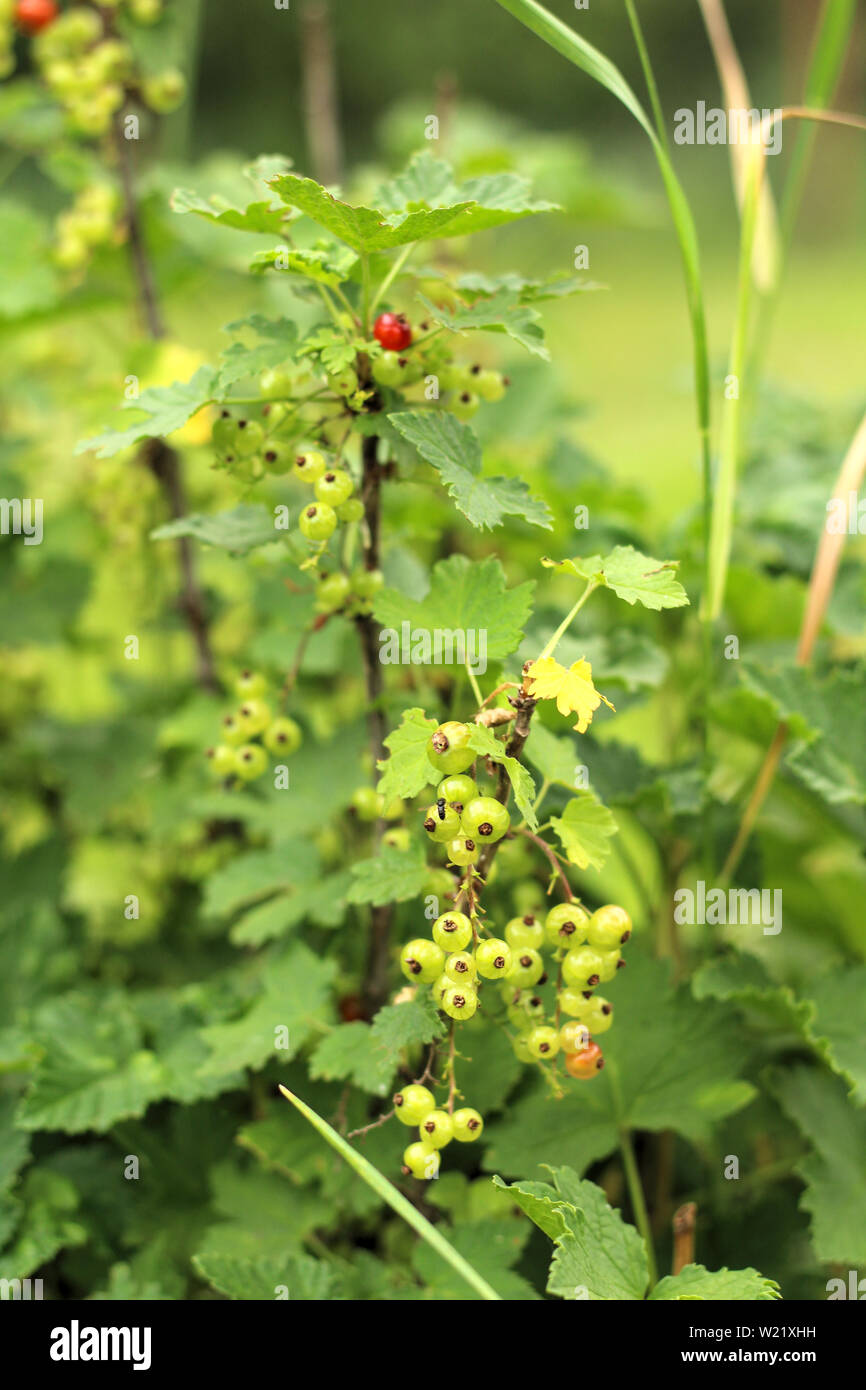 Photos of a young currant bush growing in the garden, farm. Growing currants. Green unripe currant berries on the bush. Berry bushes on the farm Stock Photo