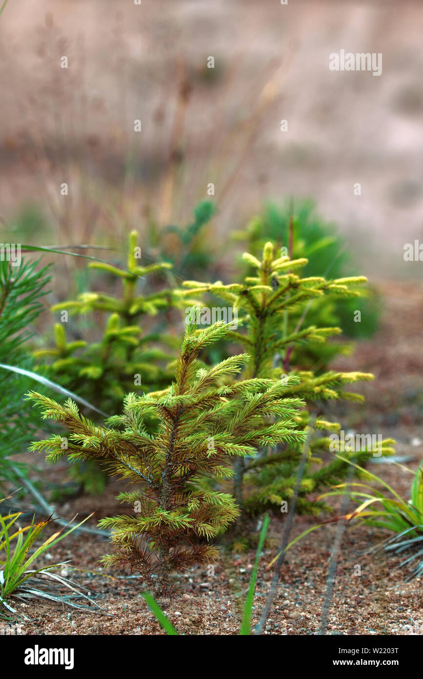 Afforestation. Young firs planted (regrowth) on plot with sandy soil, spruce undergrowth. Small trees in summer - Stock Image