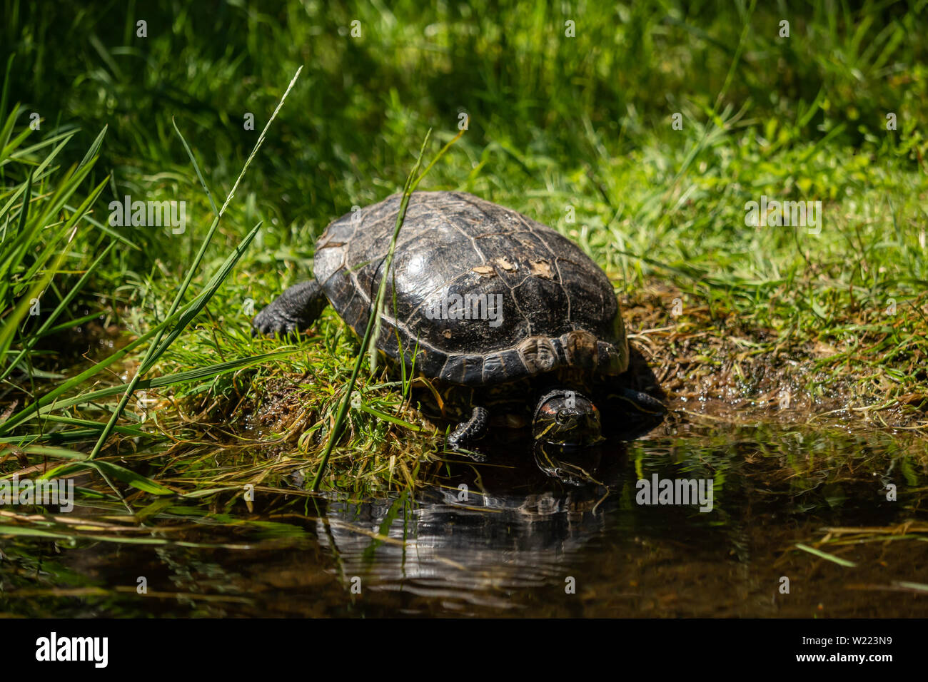 A turtle out in the grass by the water - Stock Image