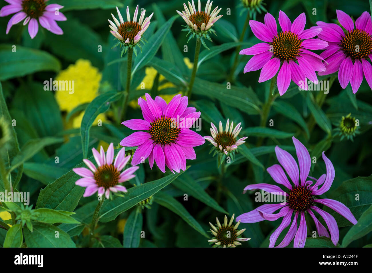 a group of coneflowers blooming in a downtown flowerbed - Stock Image