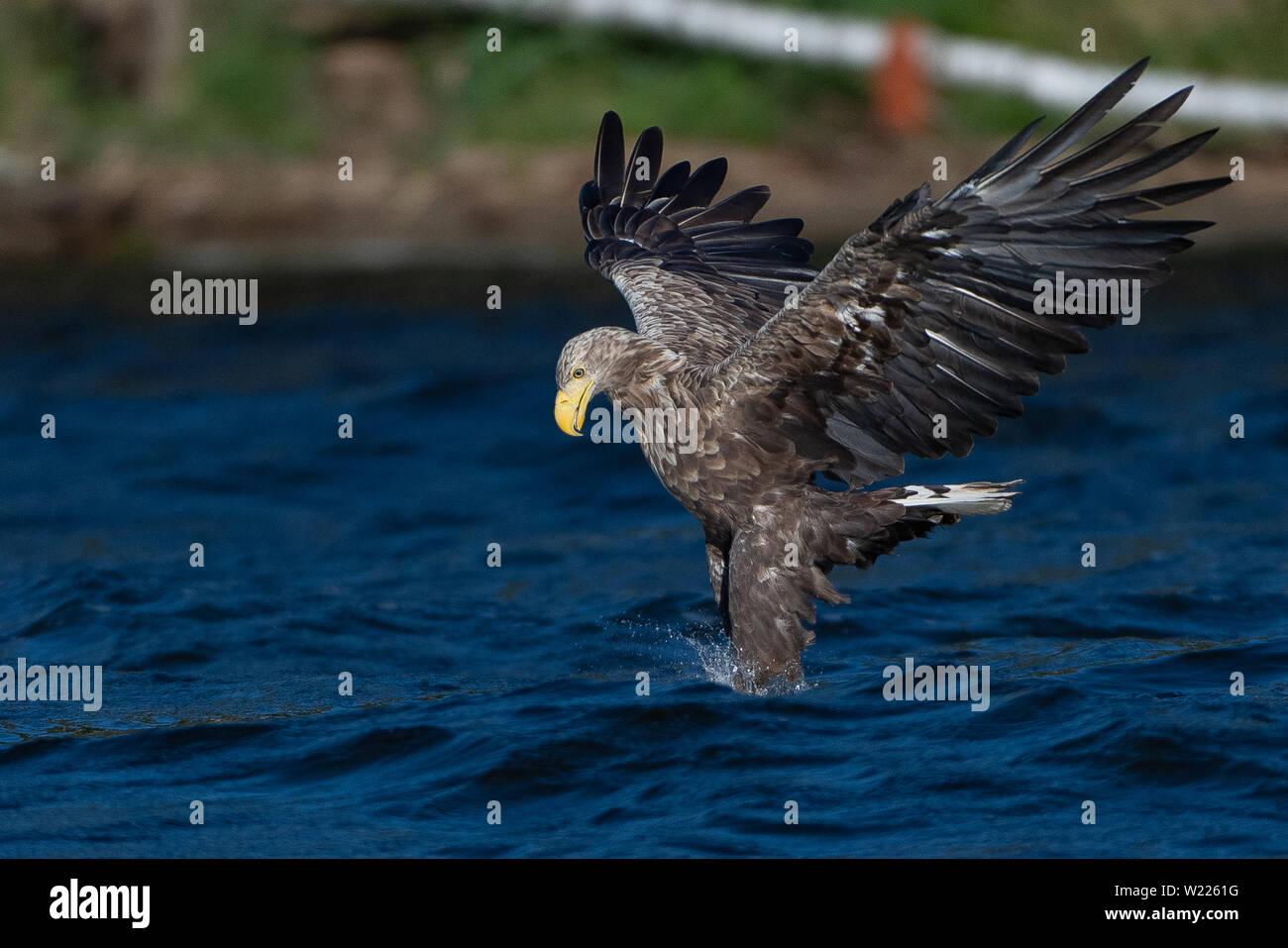 Seeadler, Adler, Vogel, Bird, Haliaeetus albicilla, Greifvogel, White-tailed eagle, fishing, fängt Fisch, Stock Photo