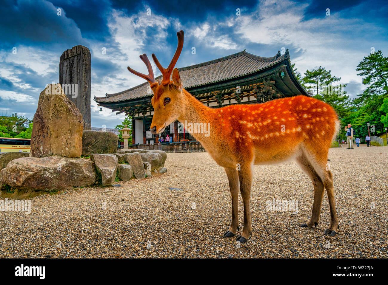 Deer roaming in the streets of Nara, Japan Stock Photo