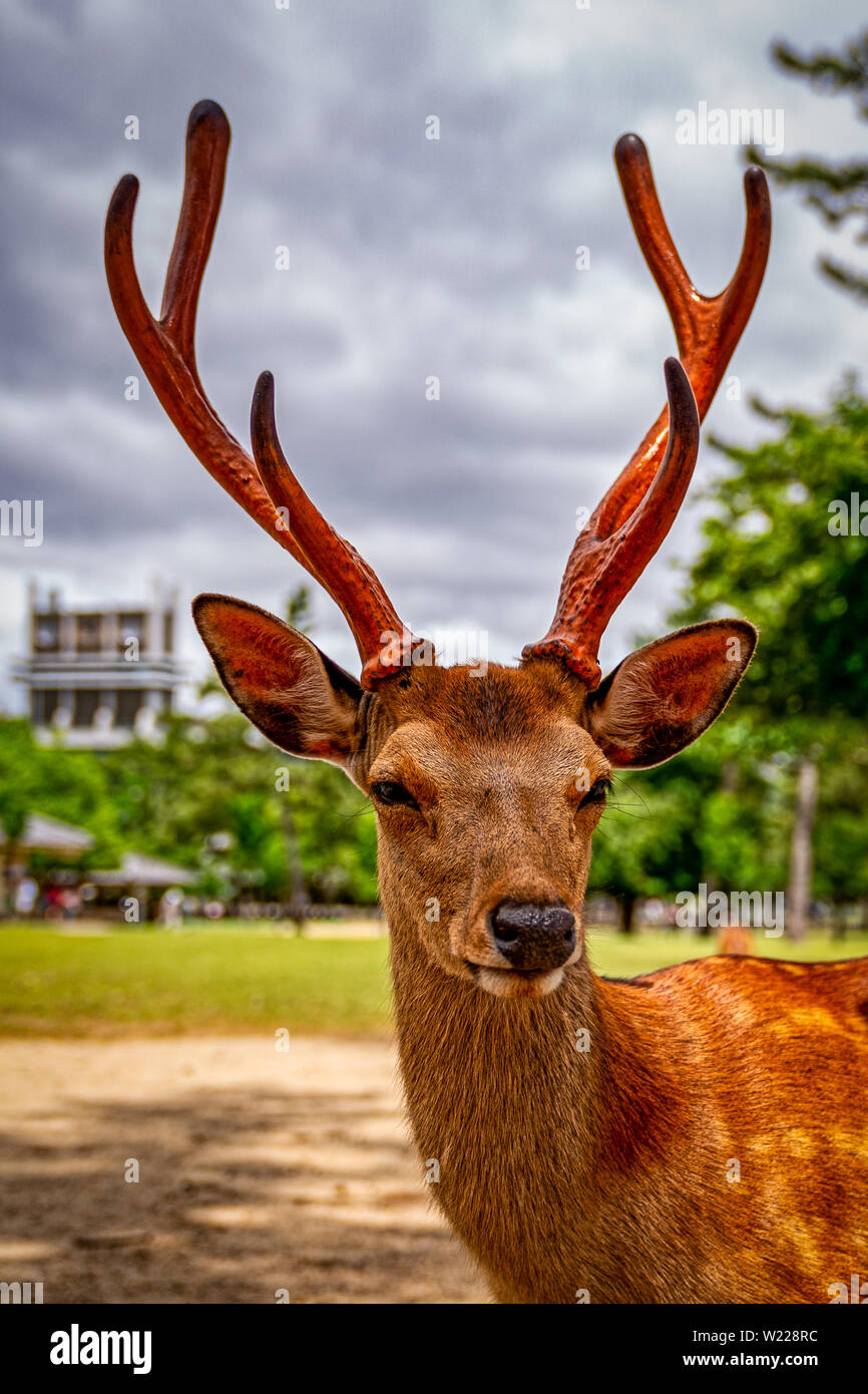 Deer roaming in the streets of Nara, Japan Stock Photo