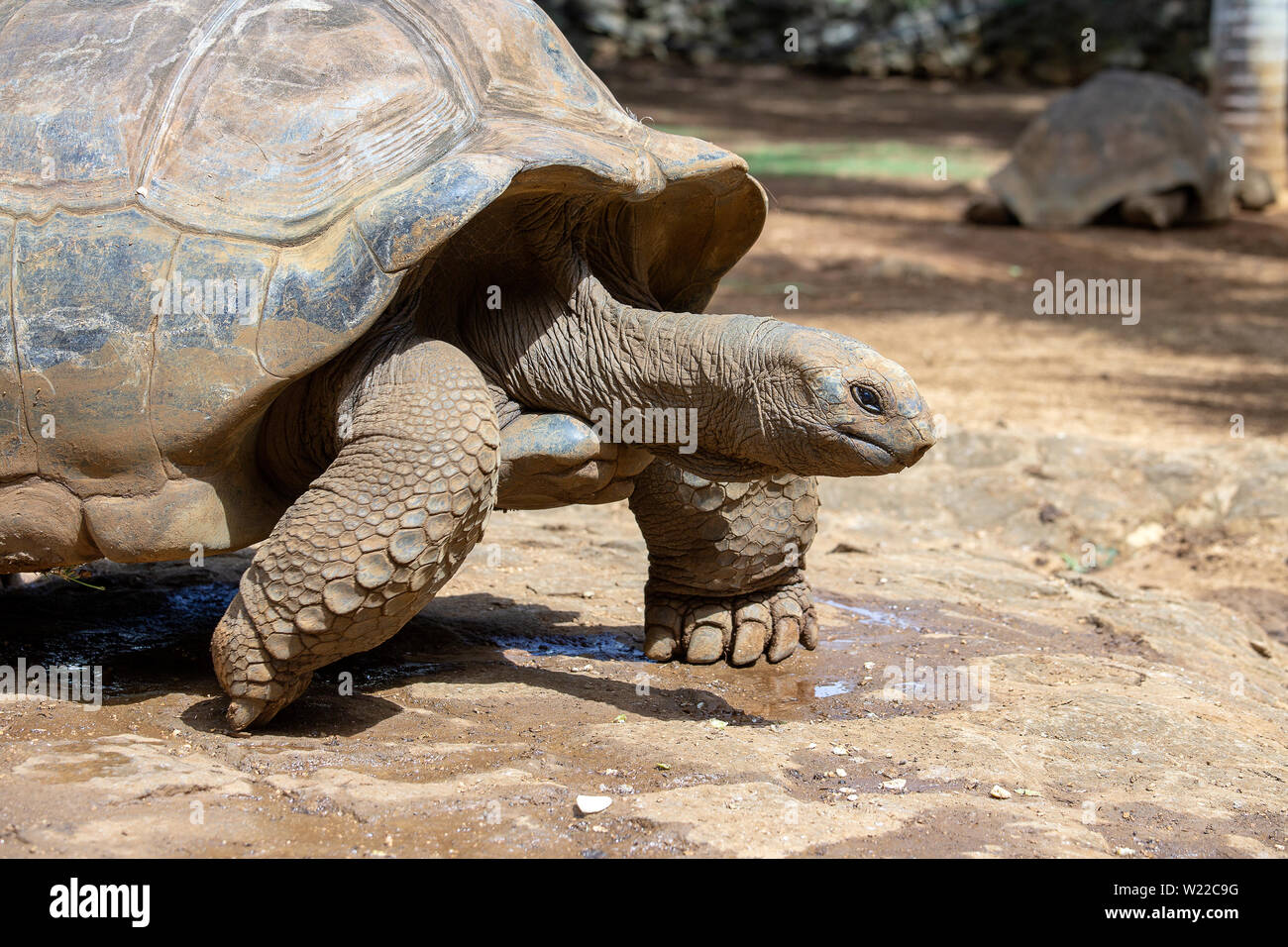 Giant turtles, dipsochelys gigantea in tropical island Mauritius , Close up - Stock Image