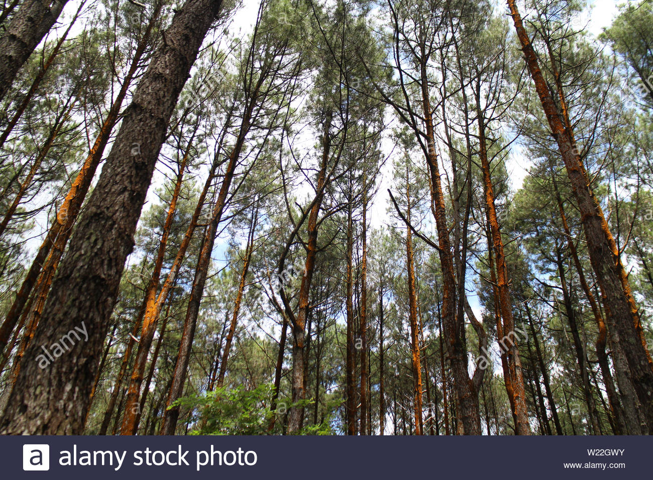 Tall skinny trees with branches on the tops in a forest - Stock Image