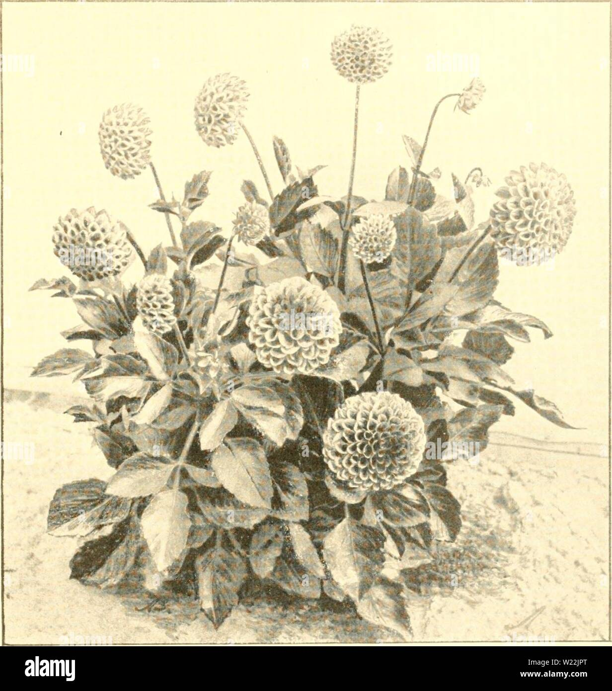 Archive image from page 20 of The Dahlia  a practical. The Dahlia : a practical treatise on its habits, characteristics, cultivation and history  dahliapracticalt00peac Year: 1896  Nkw DwAKi- Fancy Dahlia.—Rev. C. V. Bolton. I'laiUed Iiine 26tli. I'liotDi-raphed Sept 2Sth, 1895, after nine weeks continuous droutli. Sintle stem brandling system. - Stock Image