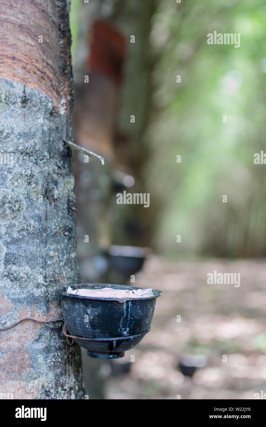 Tapping sap from the rubber tree - Stock Image