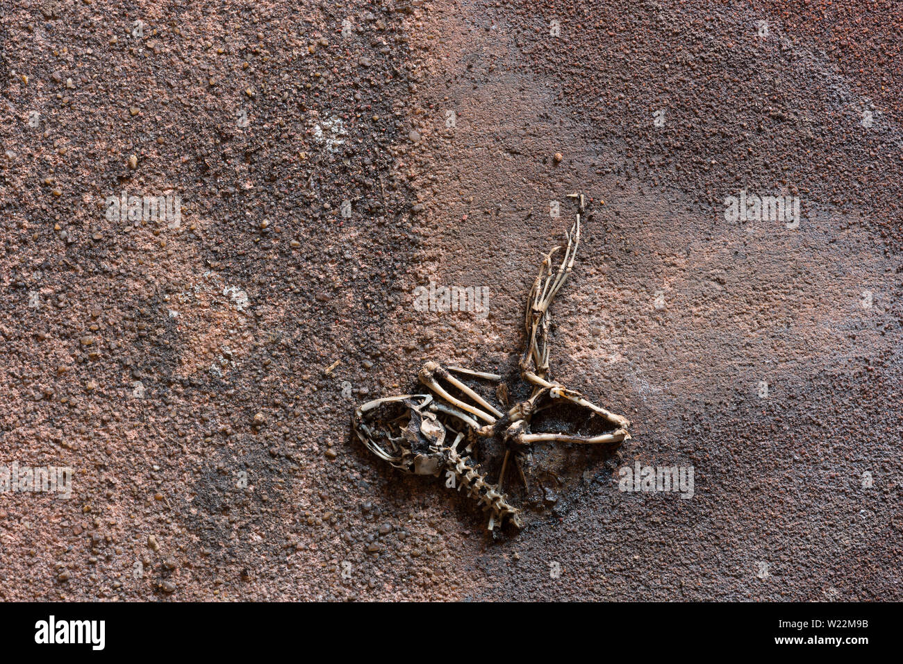 Skeleton remains of common frog which must have hibernated or become trapped between reclaimed marley roof tiles like a fossil in sediment layers - Stock Image