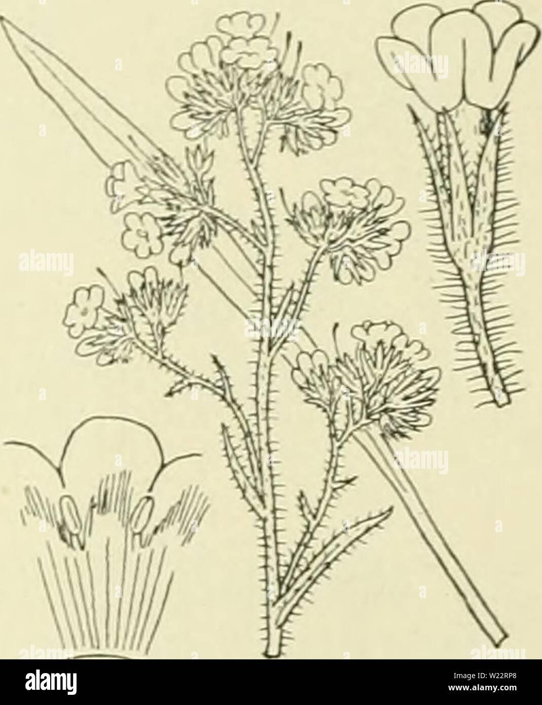 Archive image from page 108 of De flora van Nederland (1909-11). De flora van Nederland  defloravannederl03heuk Year: 1909-11.  FAMILIE 92. â BORAGINACEAE. â 89 bloemkroon de nog stuifmeel bevattende lielmknopjes langs den stempel, zoodat nu nog spontane zelfbestuiving kan plaatshebben. Volgens anderen staat de stempel ook wel eens onder de lielmknopjes of even hoog, zelfs is op sommige plaatsen heterostylie waargenomen. Ook zijn er vrouwelijke bloemen gevonden. Meestal krijgen echter de bloemen voldoende insectenbezoek, zoodat zelfbestuiving onnoodig is. Zelfs de zaadlobben zijn bij deze plan - Stock Image