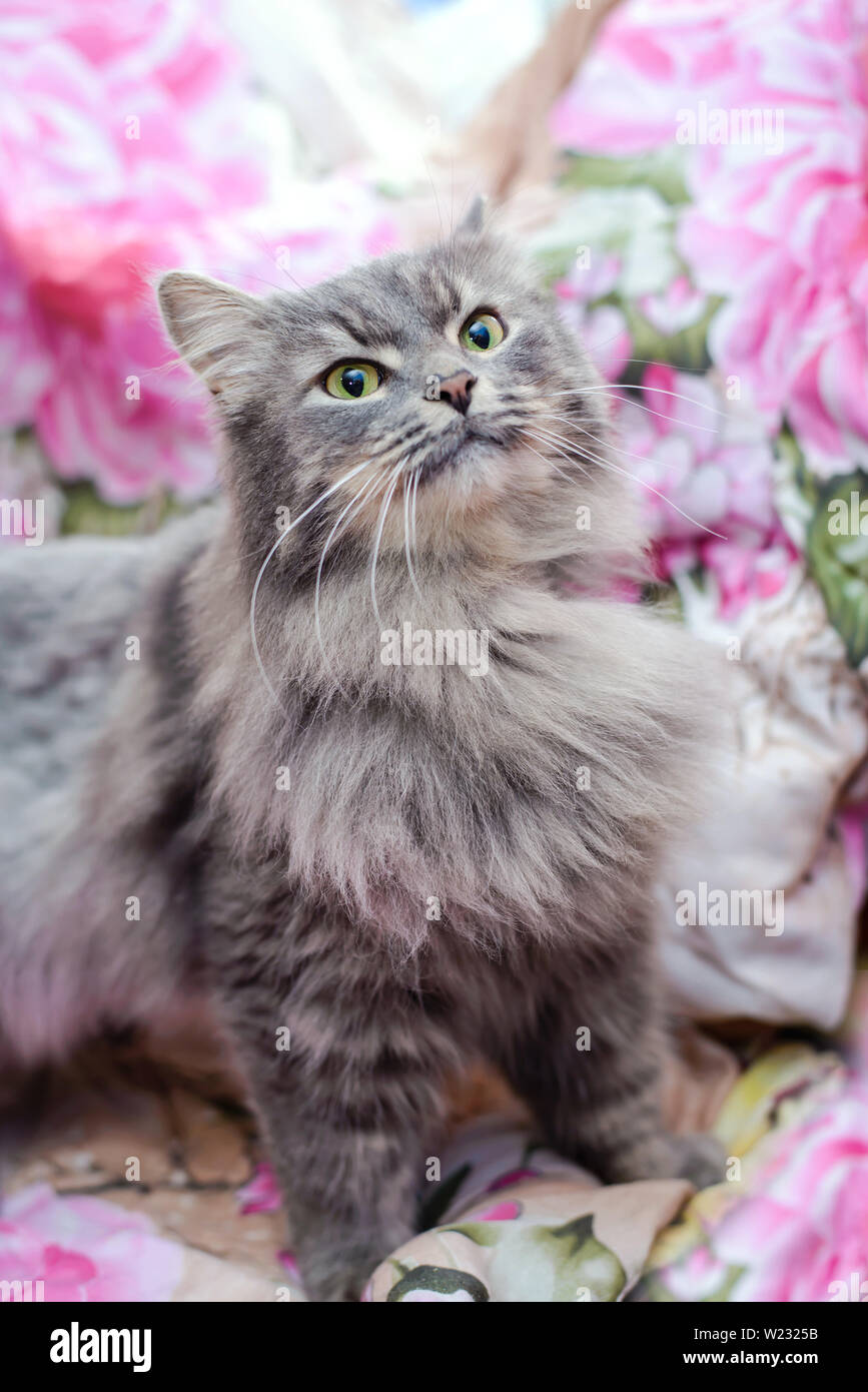 Beautiful Fluffy Grey Cute Cat At Home Looking Up Stock Photo Alamy