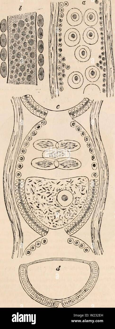 Archive image from page 126 of The cyclopædia of anatomy and Stock Photo