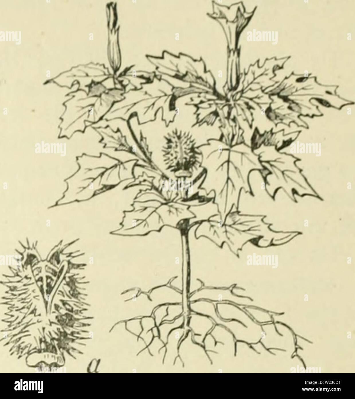 Archive image from page 138 of De flora van Nederland (1909-11). De flora van Nederland  defloravannederl03heuk Year: 1909-11.  FAMILIE 93. SOLANACEAE. — 119    Datura Stramonium Fig. 146. a vrucht. geplooid, in dcw l<noptoestand links gedraaid niet 5-Iobbigen zoom, welks slippen plotselin<4 fijn toegespitst zijn. De 5 nieeldraden zijn injesloten, neigen niet samen en liebben lijnvor- mige, overlangs openspringende helm- knopjes, die veel korter zijn dan de helmdraden. De stempel is 2-lobbig. De doosvrucht is rechtopstaand, groot, dicht met ongelijke, stijve stekels be- zet, eirond, met - Stock Image