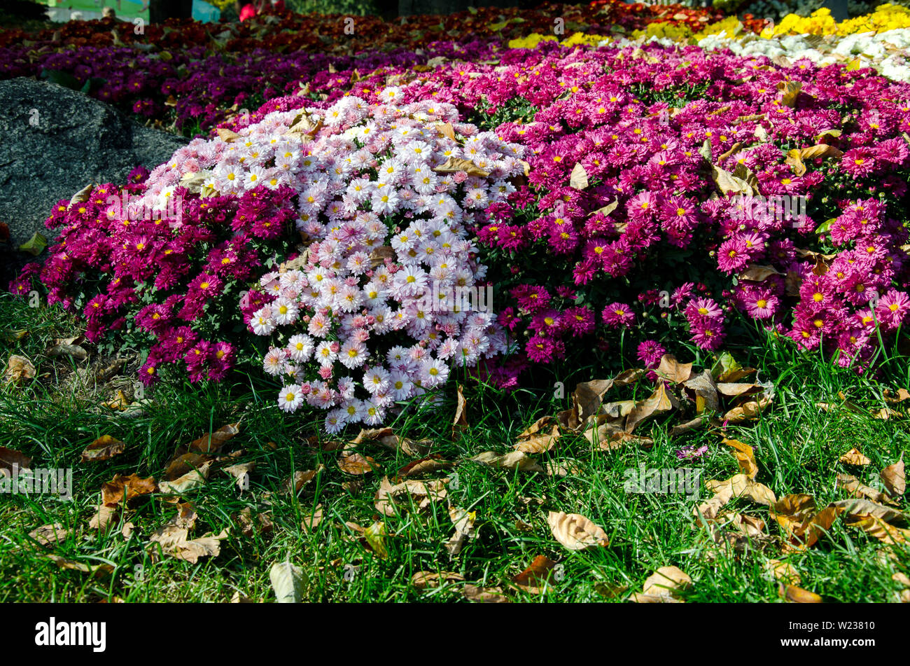 Flowerbed With Chrysanthemum Flowers Beautiful Composition In A