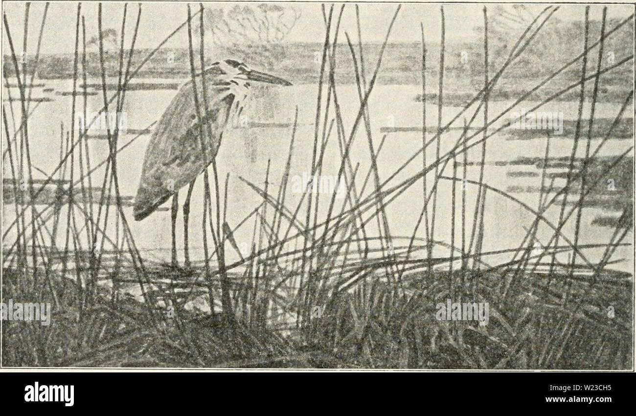 Archive image from page 153 of Dansk ornithologisk forenings tidsskrift (1907). Dansk ornithologisk forenings tidsskrift  danskornithologi11dans Year: 1907  142 næppe var sj'nlige, fortalte paa deres Sprog, at ogsaa de var paa Vej. Det er efterhaanden blevet mange Ture af lignende Art, jeg har udført i Aarenes Løb, og dog er Aftenerne ved Fjorden ikke mindre tiltalende. Man kan anbringe sig i Strandkanten skjult af Tang og iagttage de trækkende Fugle, naar man ser i den    Hejre ved Fjorden. Retning, hvor Solen er gaaet ned, fordi Vandet her længe be- holder den lyse Farve. En Aften daler der - Stock Image