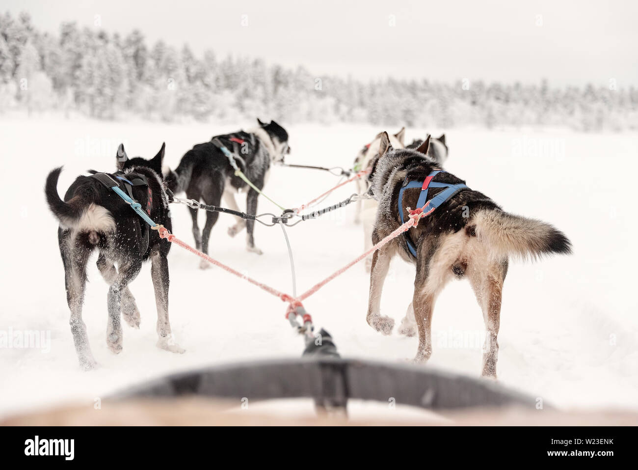 Finland, Inari - January 2019: lone team of huskies pulling ahead, view from sled Stock Photo