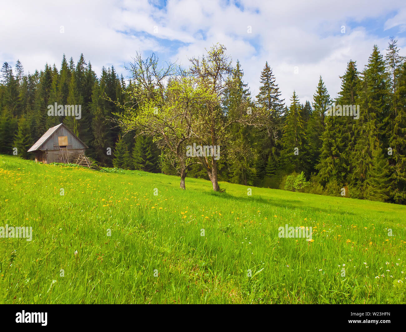 Wooden cabin in the fir forest, sunny spring day with green grass and flowering meadow. - Stock Image