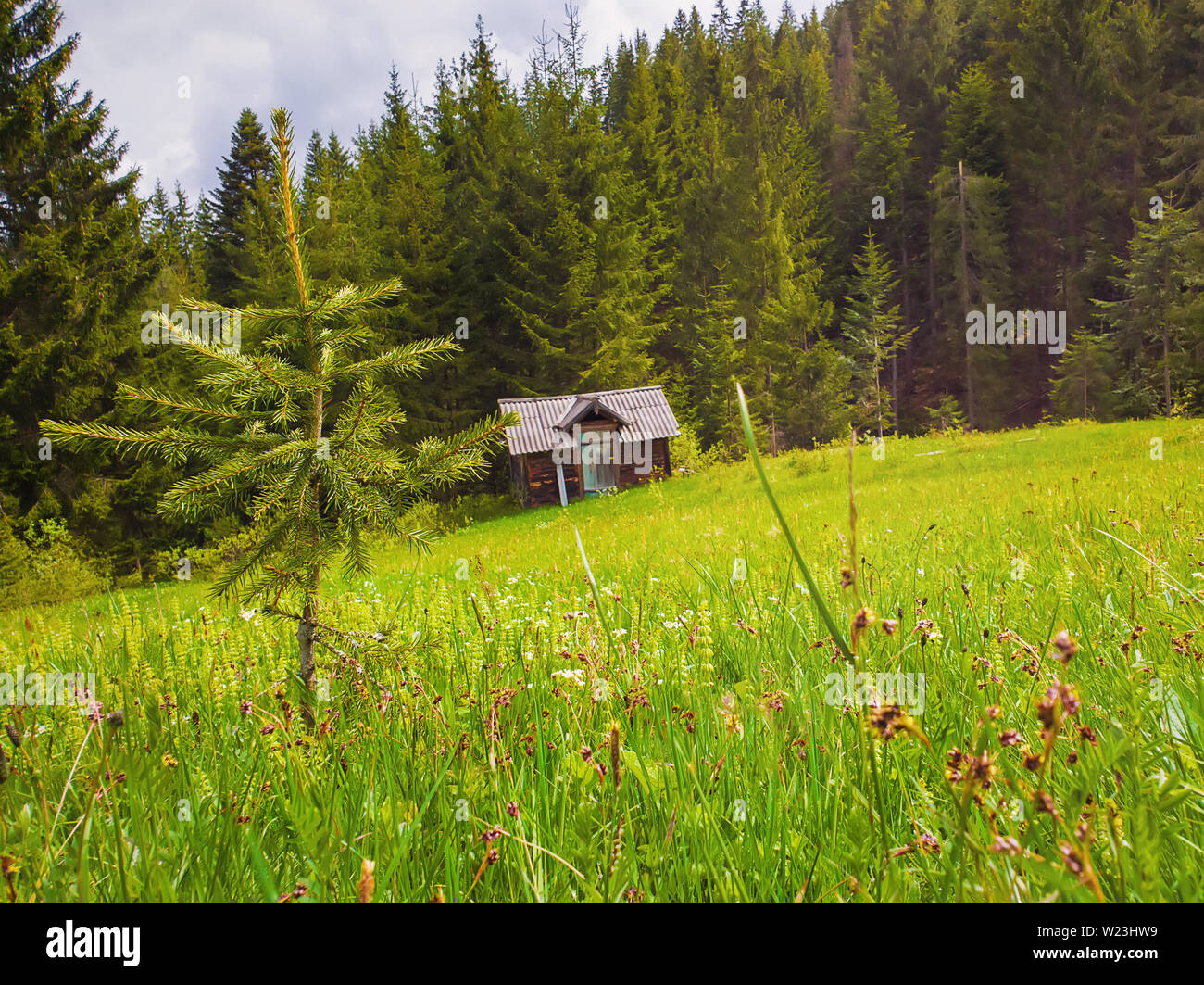Close up of a little fir tree on the green grass field in front of a wooden cottage surrounded by coniferous forests. Picturesque spring idyllic scene - Stock Image