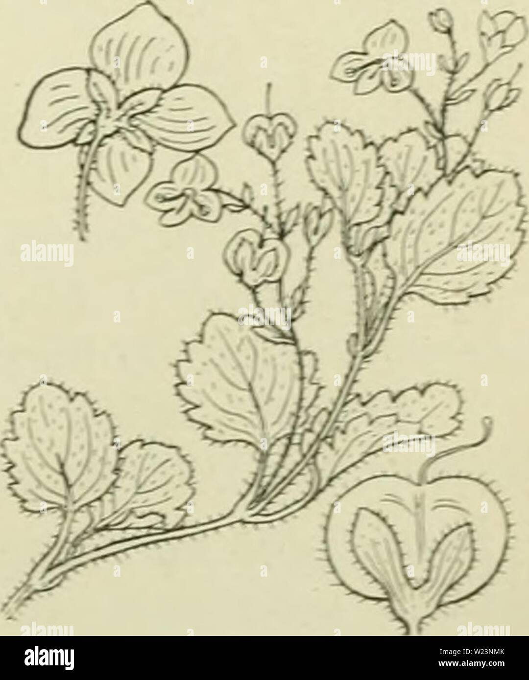 Archive image from page 176 of De flora van Nederland (1909-11). De flora van Nederland  defloravannederl03heuk Year: 1909-11.  Bloem van Veronica Beccabunga Fig. 186. a kelk, b bloemkroon, c meeldraden, d vrucht- beginsel, e stijl, ƒ stempel. y. répens ') Cop. Stengel geheel kruipend. o. minor-) Schldl. Bladen kleiner, rondachtig. Op drogere plaatsen. Ook hiervan is een forma repens met kruipenden stengel gevonden. Biologische bijzonderheid. Over het openspringen der vruchten zieV.Anagallis. De bloemen (fig. 186) zijn proterogynisch. Als zij in de zon goed open zijn, staan de meeldraden iets - Stock Image