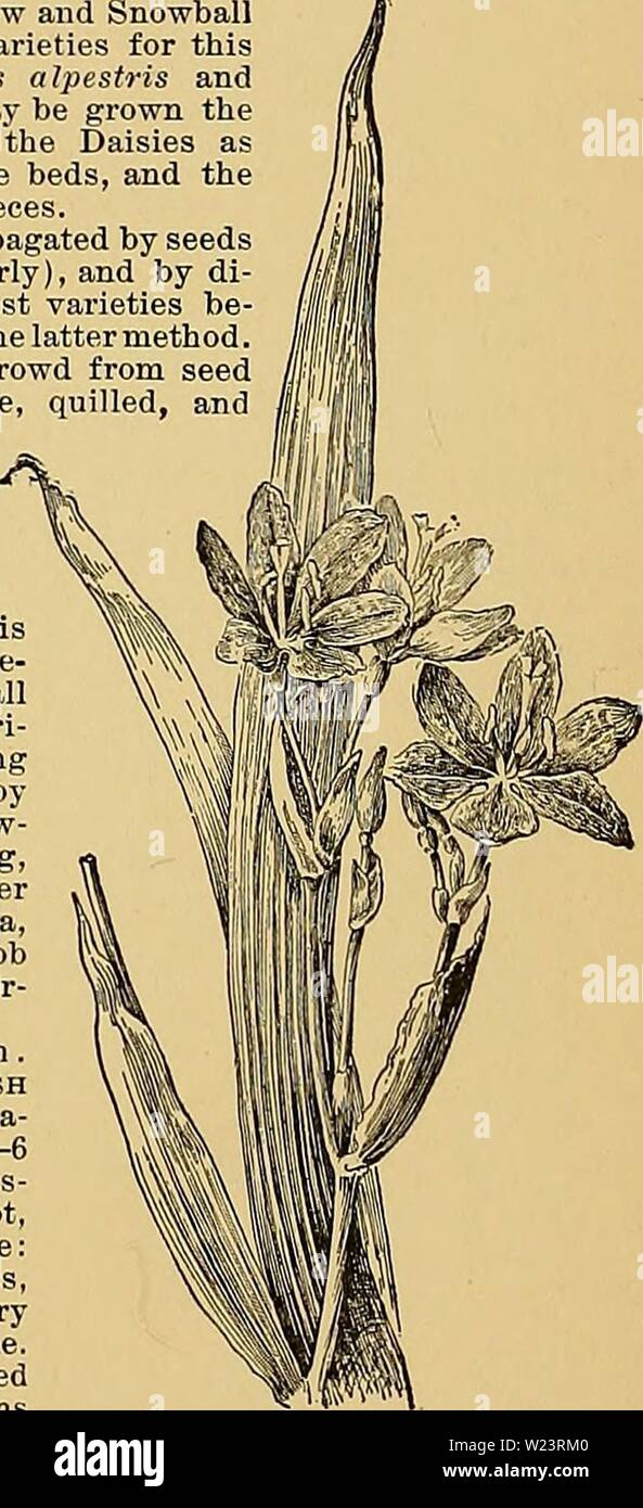 Archive image from page 181 of Cyclopedia of American horticulture, comprising. Cyclopedia of American horticulture, comprising suggestions for cultivation of horticultural plants, descriptions of the species of fruits, vegetables, flowers, and ornamental plants sold in the United States and Canada, together with geographical and biographical sketches  cyclopediaofamer01bail1 Year: 1900  251. Erdody Begonia (X Ys). No. 107. (See Begonia, p. 151.) spring flower beds, the clumps are divided into single plants during the previous September, or early enough to allow the new plants to get a firm ho Stock Photo