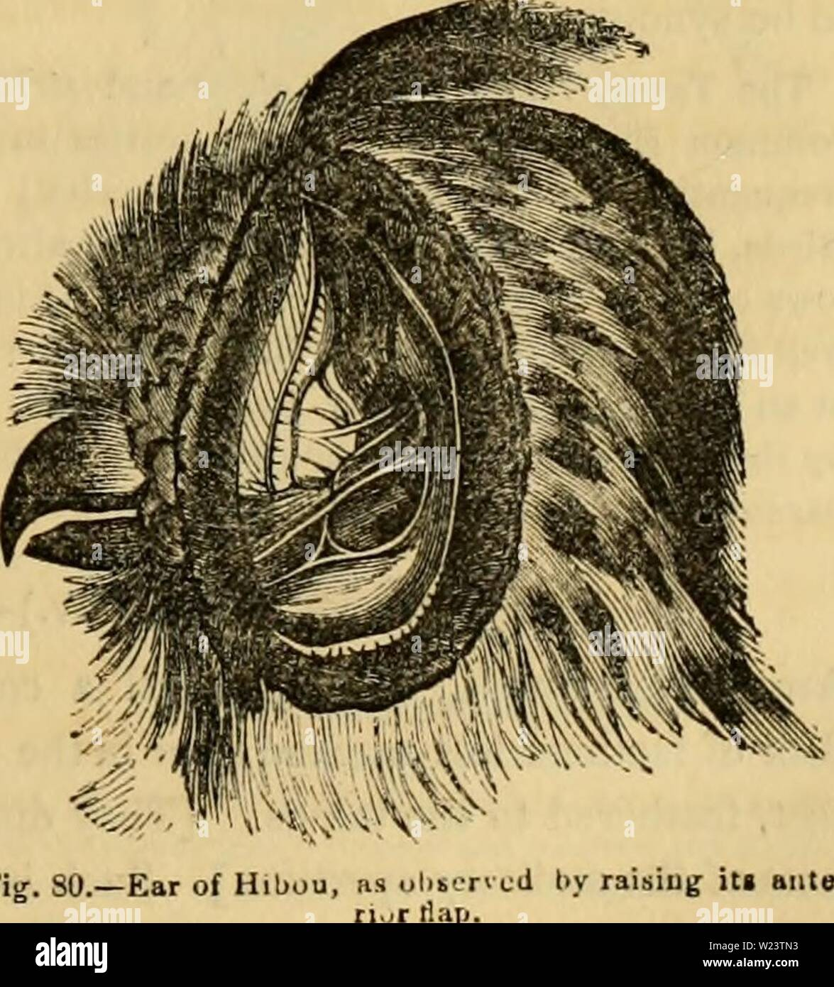 Archive image from page 184 of Cuvier's animal kingdom  arranged. Cuvier's animal kingdom : arranged according to its organization  cuviersanimalkin00cuvi Year: 1840  The Owls {Strix, Linn.),— Which may be divided according to their head-tufts, the size of their ears, the extent of the circle of feathers which surrounds their eyes, and some other characters. Those species which around the eyes have a large complete disk of fringed feathers, itself siurounded by a circle or collar of scaly feathers, and between the two a large opening for the ear (see fig. 80), are more removed in their form an - Stock Image