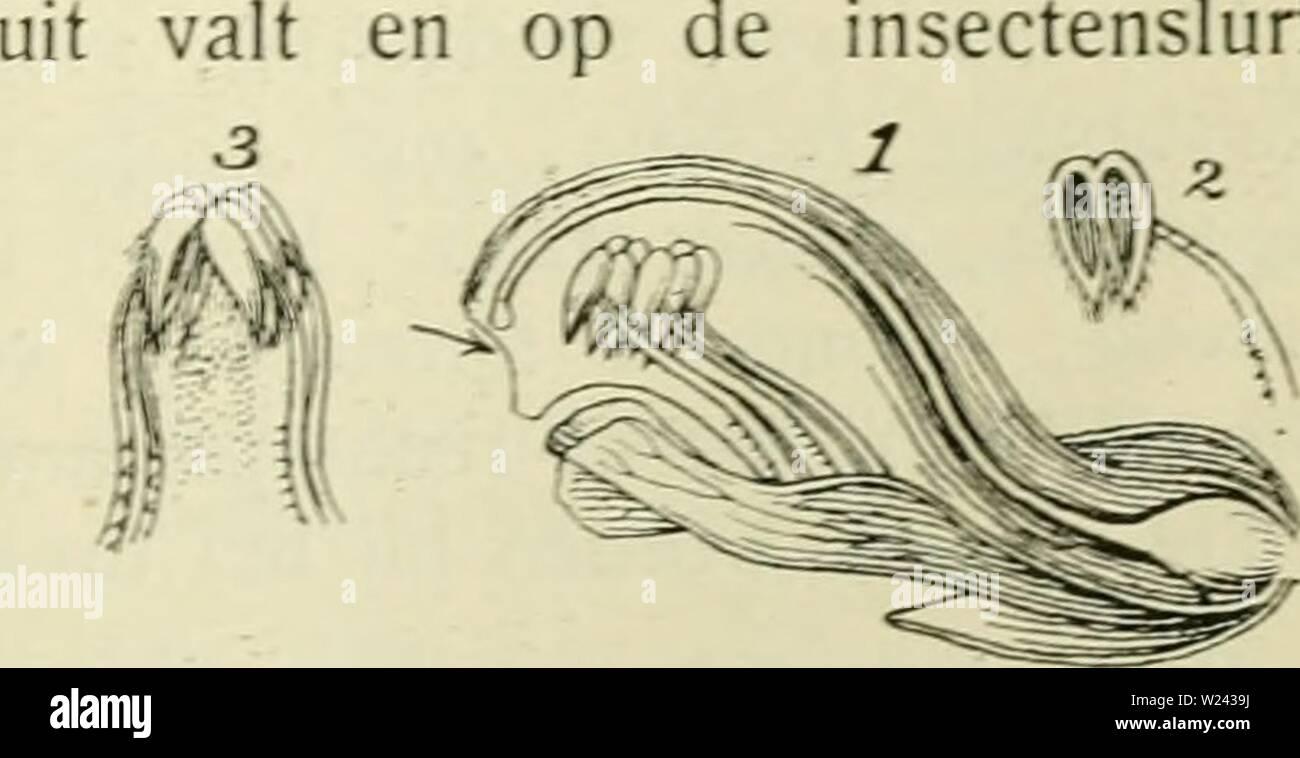 Archive image from page 200 of De flora van Nederland (1909-11). De flora van Nederland  defloravannederl03heuk Year: 1909-11.  het stuifmeel er Alectorólophus major Fig. 217. ƒ meeldraden van voren gezien, 2 een meeldraad aan de binnenzijde De haarbekleeding van de randen der onderste helmknopjes verhindert. als bij Pedicularis silvatica, het zijwaarts uit- strooien van dat stuifmeel. De stempel steekt even onder de boven- lip uit en wordt het eerst door de hom- mels aangeraakt, zoodat kruisbestuiving verzekerd is. Spontane zelfbestuiving is hier vrijwel onmogelijk. De var. 3. hirsutus is ook - Stock Image