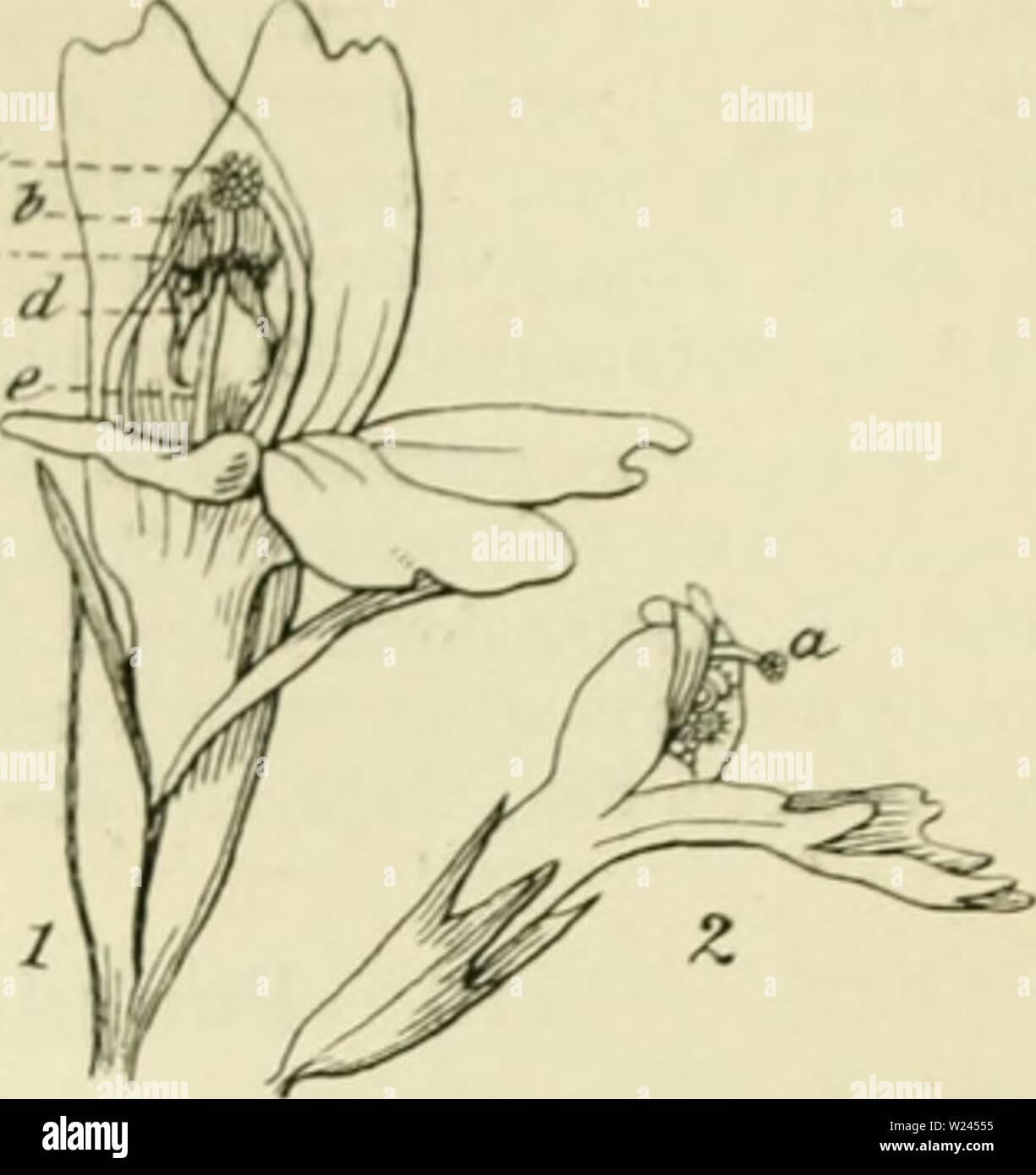 Archive image from page 206 of De flora van Nederland (1909-11). De flora van Nederland  defloravannederl03heuk Year: 1909-11.  FAMlLin 94. SCROPHULARIACEAE. — 187    Euphrasia nemorosa Fig. 227. / bloem van voren gezien, 2 bloem van E. Rostkoviana in het begin van den bloei. a stempel, b bovenste lielft van het bovenste helmknopje, c onderste helft van het bovenste vereenigd met de bovenste helft van het onderste helm- knopje, d onderste helft van het onder- ste helmknopje, e stijl. meestal violette strepen , die naar den geel gevlekten voet der lip sameiiloopen De kleine bloemen dezer soort - Stock Image