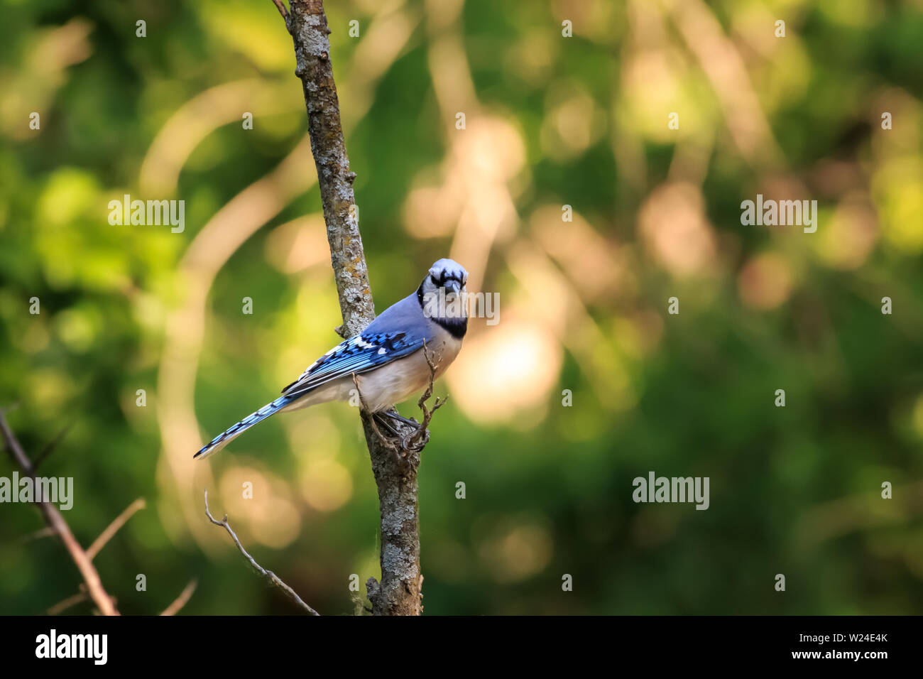 Blue Jay (Cyanocitta cristata) perched in a tree Stock Photo