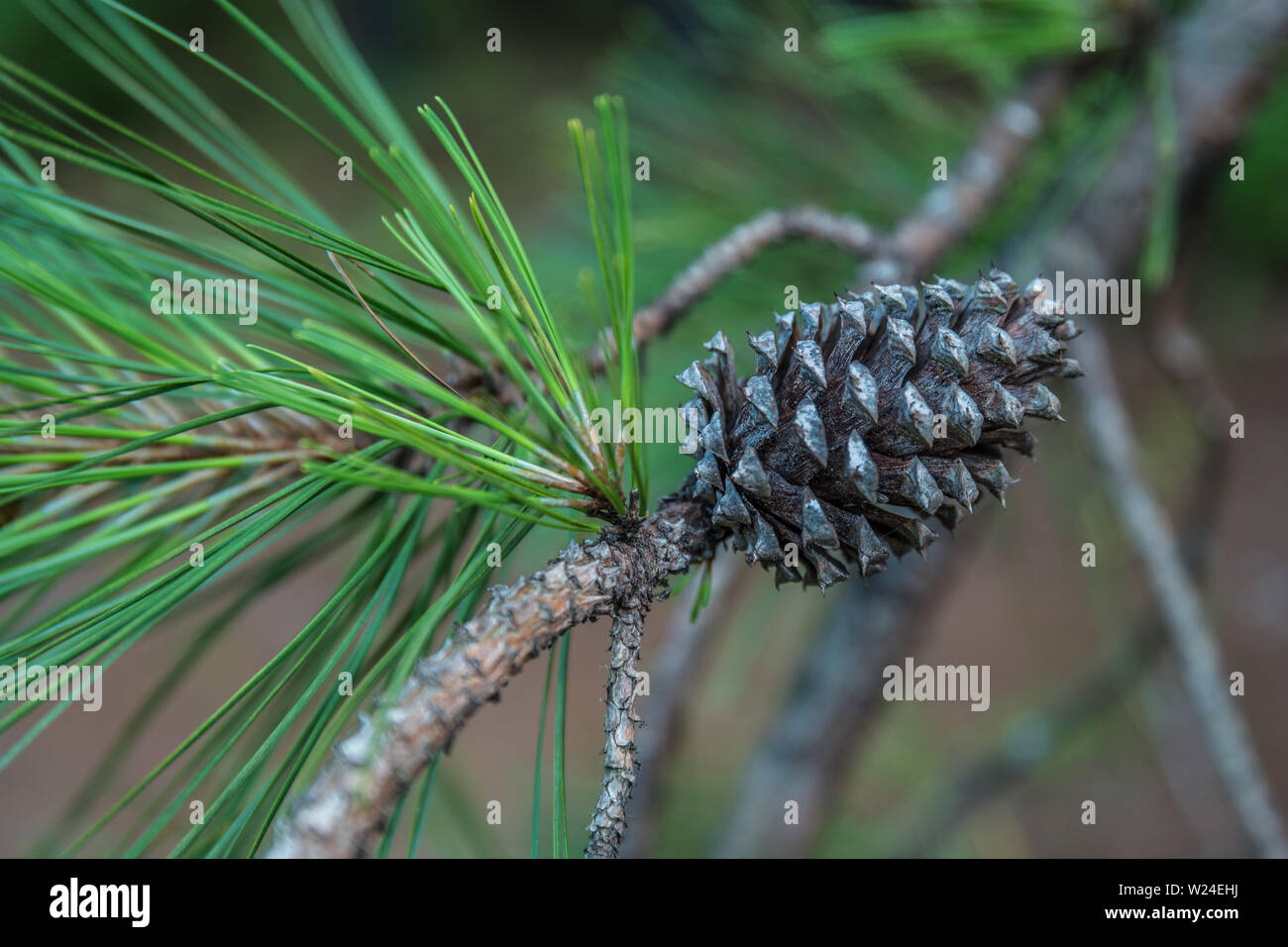 Pine cone already dispersed the seeds for the next season still on the pine tree branch in the woodlands - Stock Image