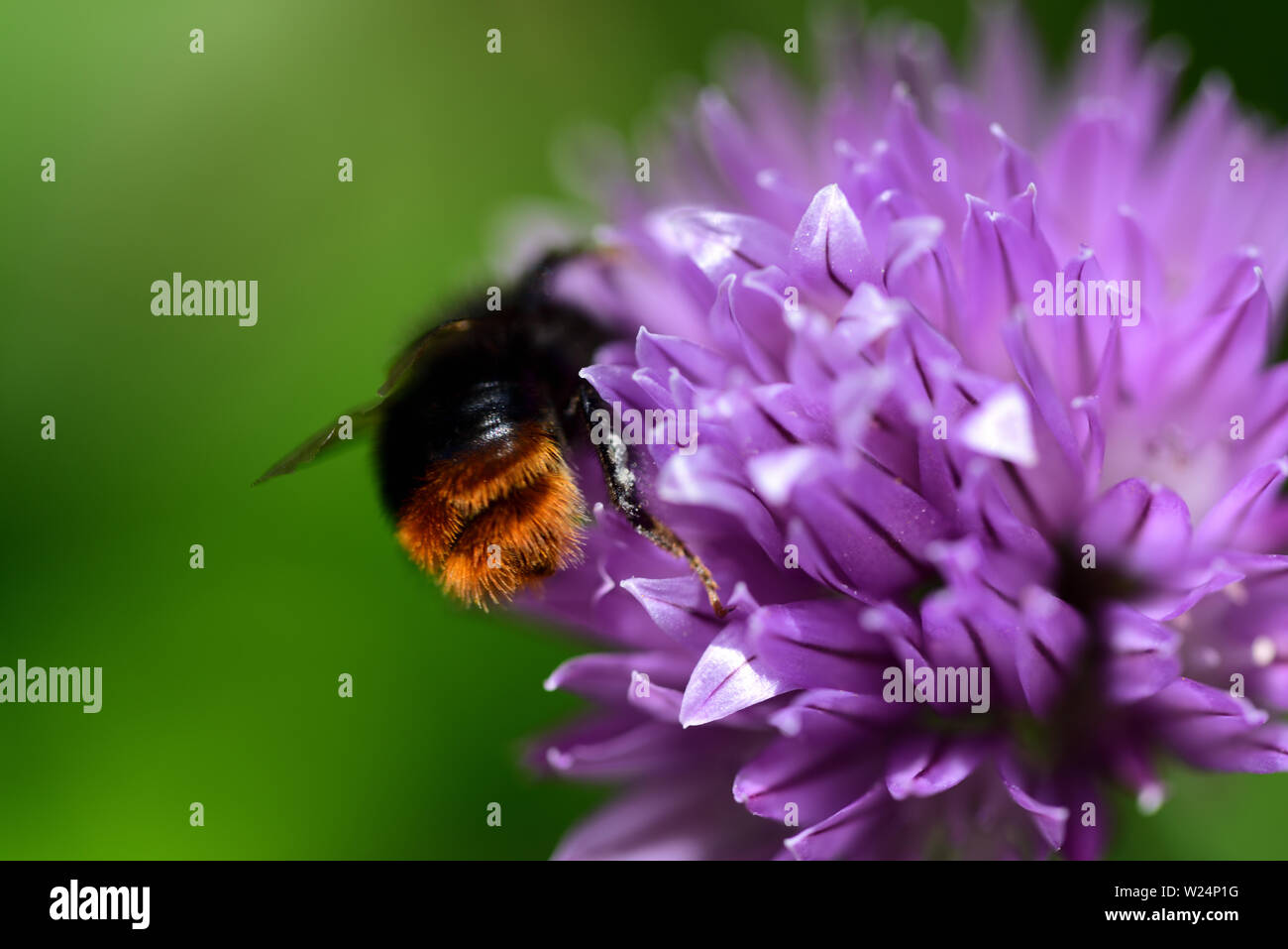 Closeup of a chive blossom with a bee searching nectar there - Stock Image