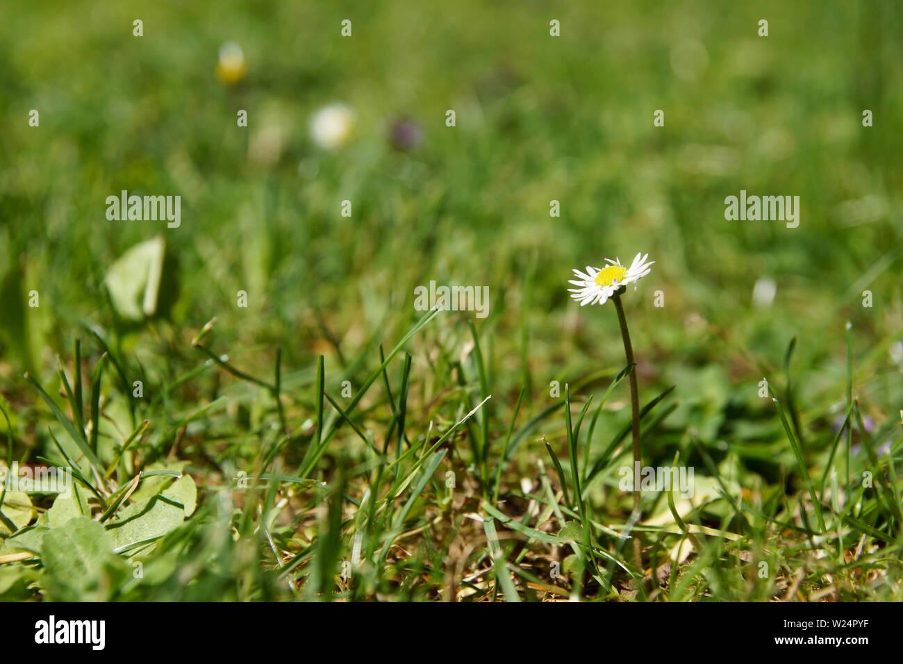 Gänseblümchen auf Rasen Stock Photo
