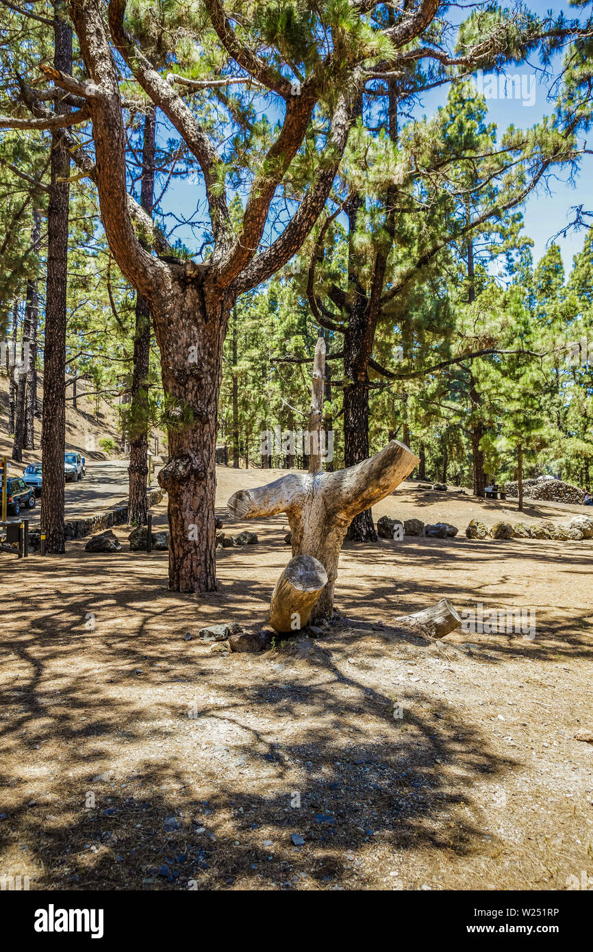 Fun natural composition of a multi-layered pine and a dry tree trunk. Picnic and barbecuearea inside Canarian Pine forest near volcano Arenas Negras, - Stock Image