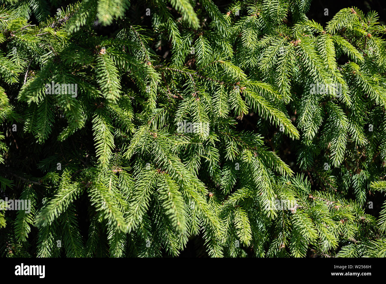 Background of Christmas tree branches. Fresh green fir-tree branches in a Sunny forest - Stock Image