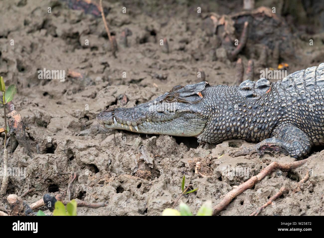 Saltwater Crocodile June 6th, 2019 Near Port Douglas, Australia - Stock Image