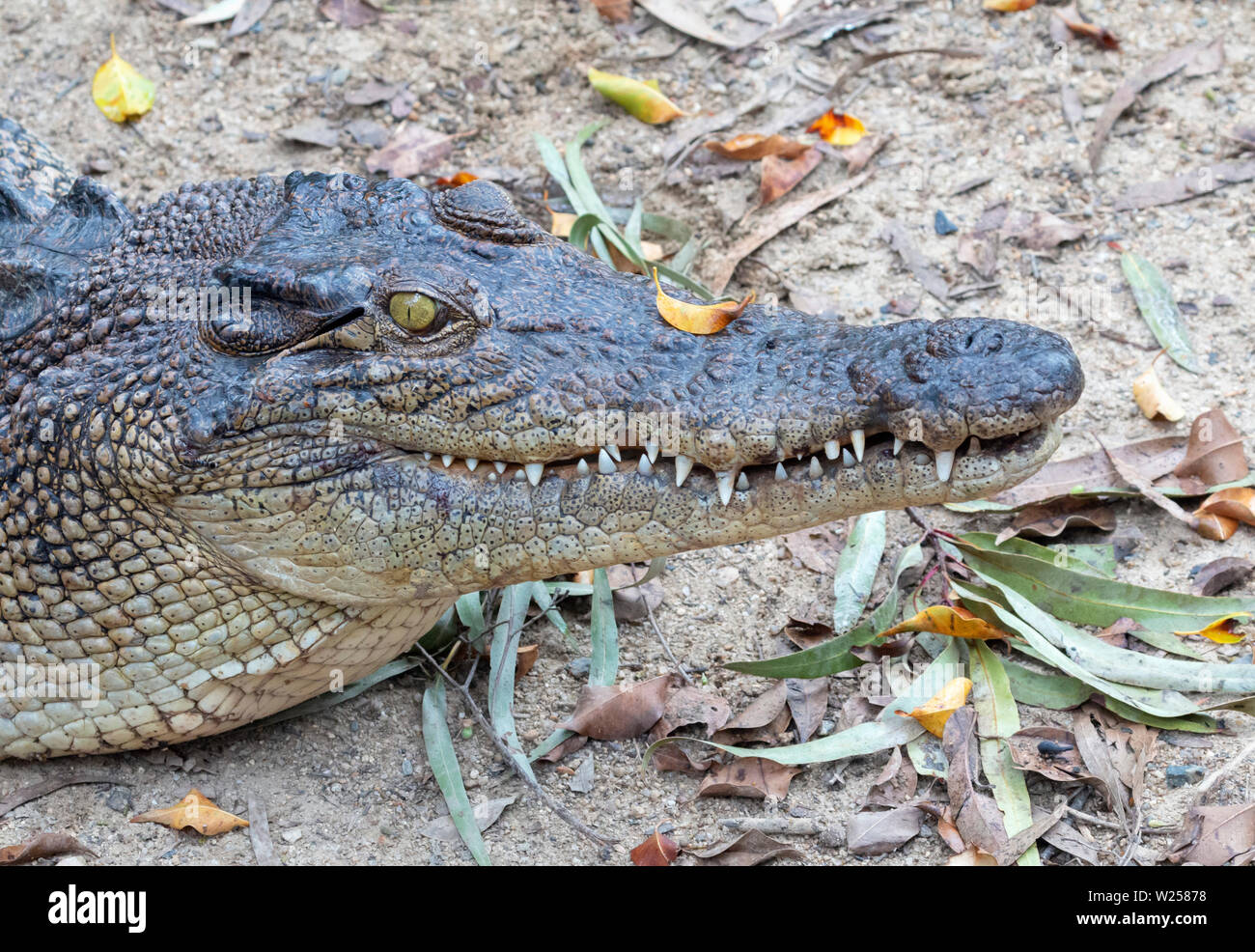 Saltwater Crocodile June 7th, 2019 Port Douglas, Australia - Stock Image