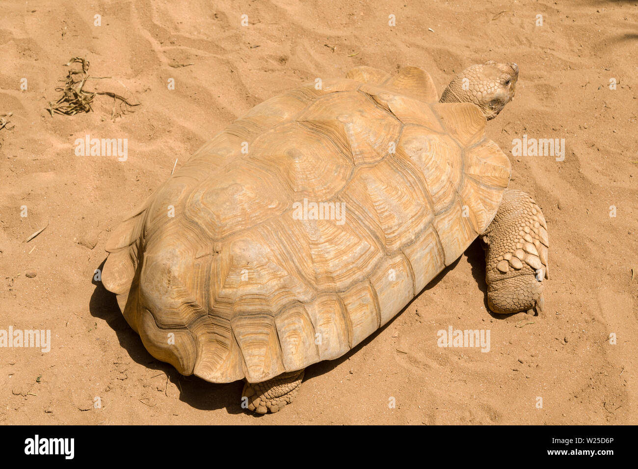 Big turtle on a sandy beach, Tenerife island. Endangered species of turtles - Stock Image