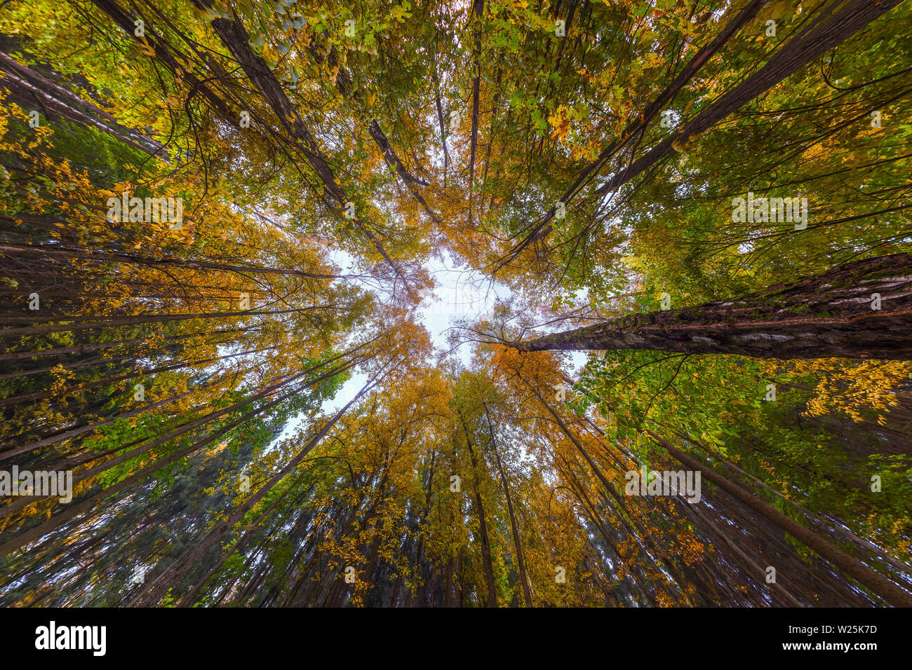 Ultra wide angle upward shot in autumn daylight forest, Cloudy weather. Centripetal composition. Stock Photo
