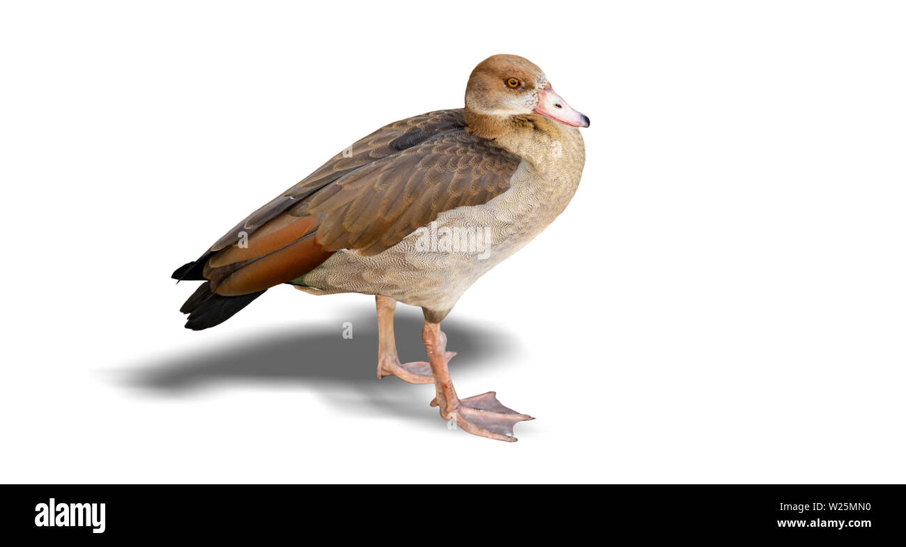 Female brown duck standing, isolated on white background, closeup view - Stock Image