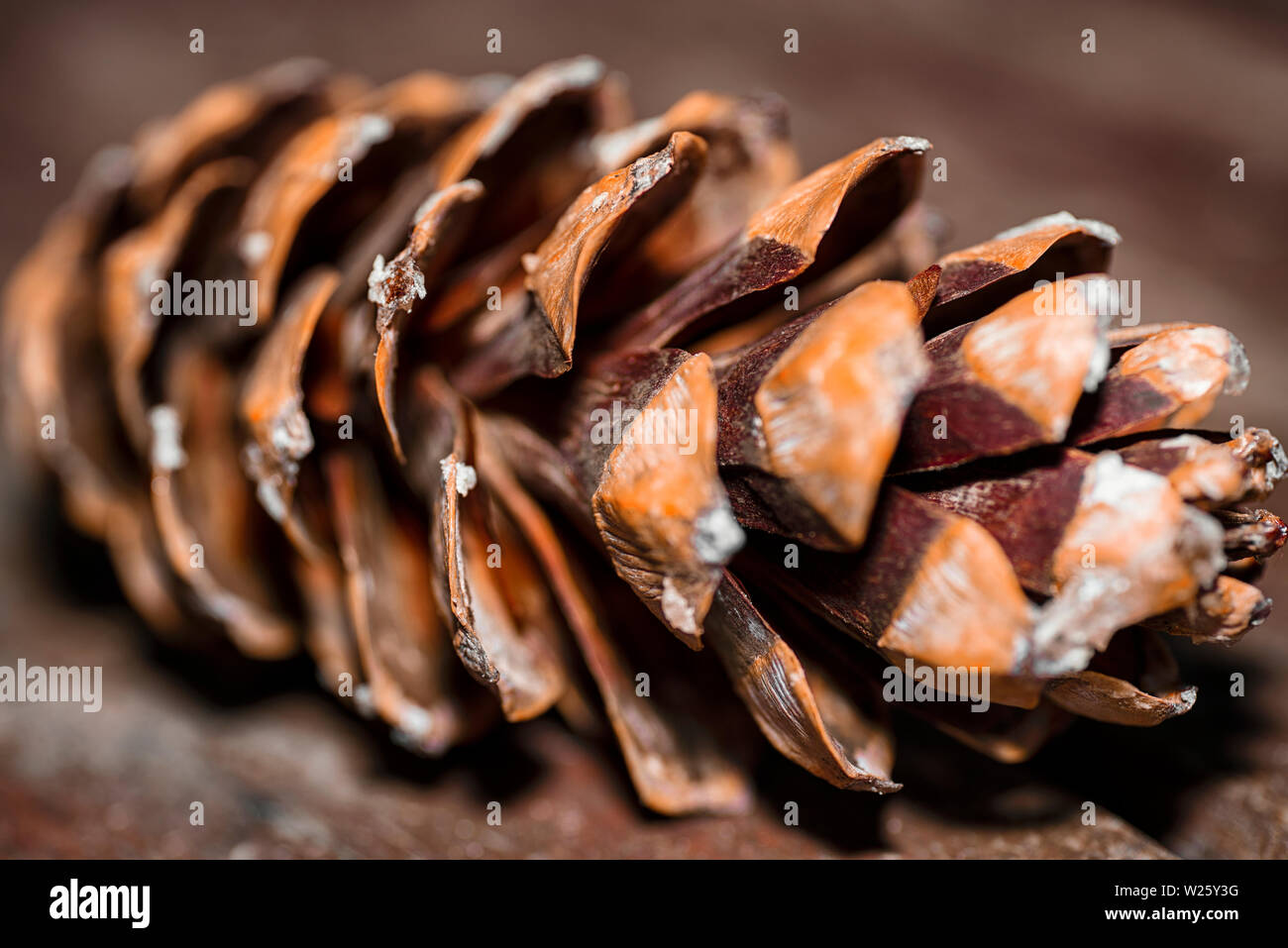 Background from cones. Fir cones. Cones close-up - Stock Image
