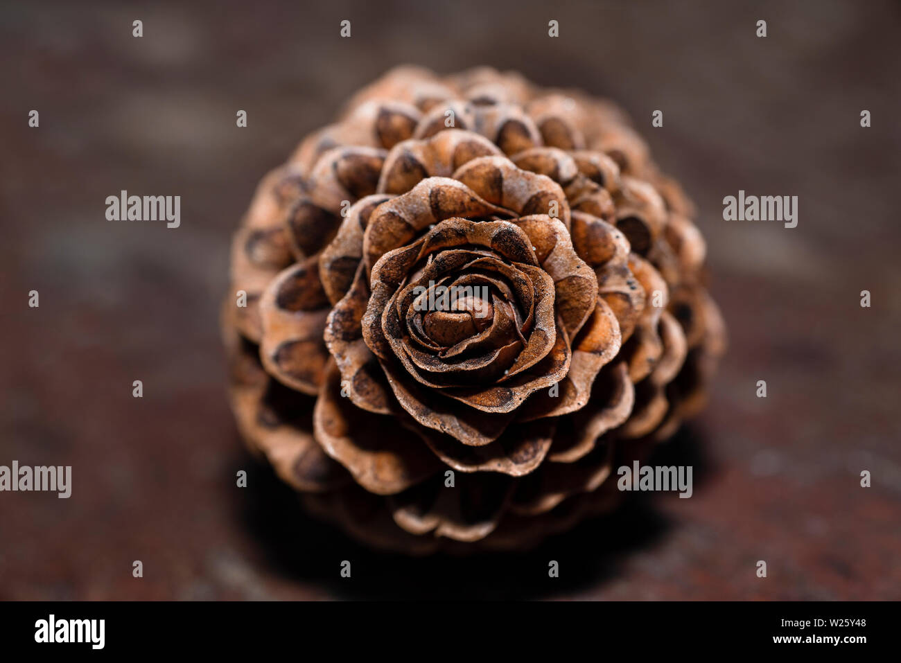 Fir cones in the form of roses.Cones. Cones in the form of roses. European larch. - Stock Image