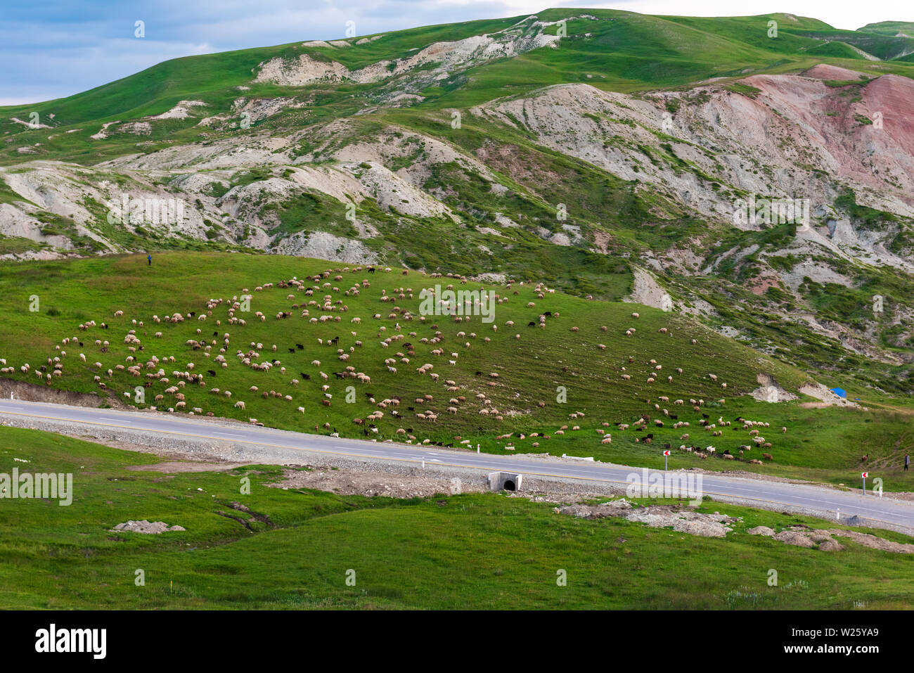 A flock of sheep on the mountainside - Stock Image