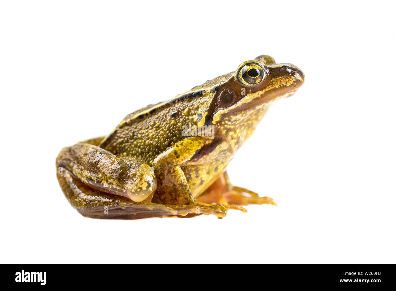 Common Brown frog (rana temporaria) sideview and looking in the camera on white background - Stock Image