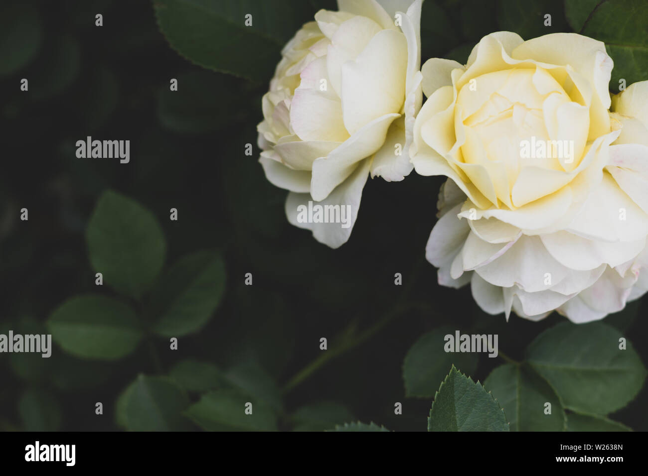 flower power, Uetersener monastery rose with dark green foliage with copy space - Stock Image