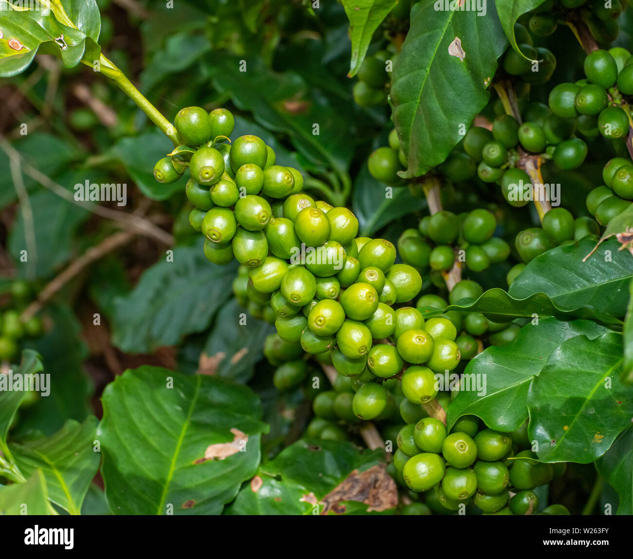 Coffee Tree With Green Coffee Beans On The Branch In Coffee Farm